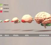 Jämförelse av hjärnan mellan olika arter