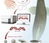 DNA-analys – zebrafisk