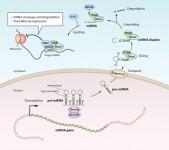 Bildning av miRNA i cellen – grundstegen