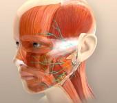 Ansikte – nerver