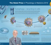 Nobelpriset i fysiologi eller medicin 2016 – poster