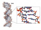 DNA molecule in 3D