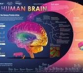 The Human Brain – Proteinatlas.org