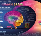 The Human Brain – Proteinatlas.org