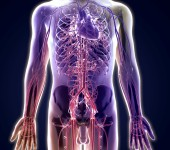 Human body and blood vessels